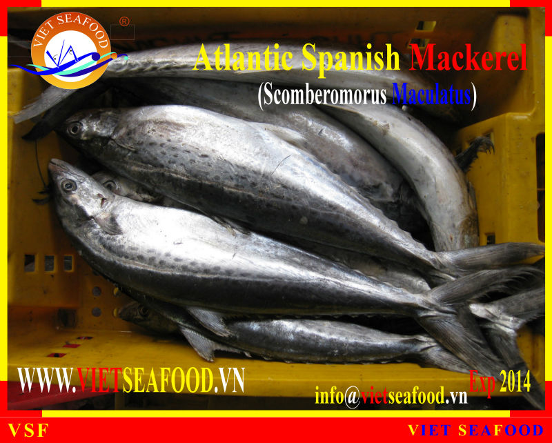 FROZEN W/R ATLANTIC SPANISH MACKEREL