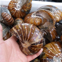 top quality natural conch ammonite fossil nautilus fossil stone for decoration