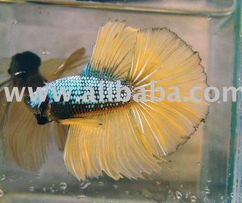 Interbettas Live Beta Siamese Fighting Fish