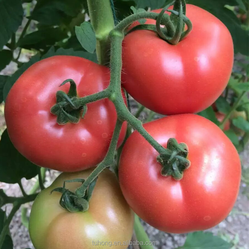 High Yield Vegetable Seeds Pink Red Tomato Seeds Popular in the markets