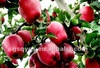 importer fresh fruits apple