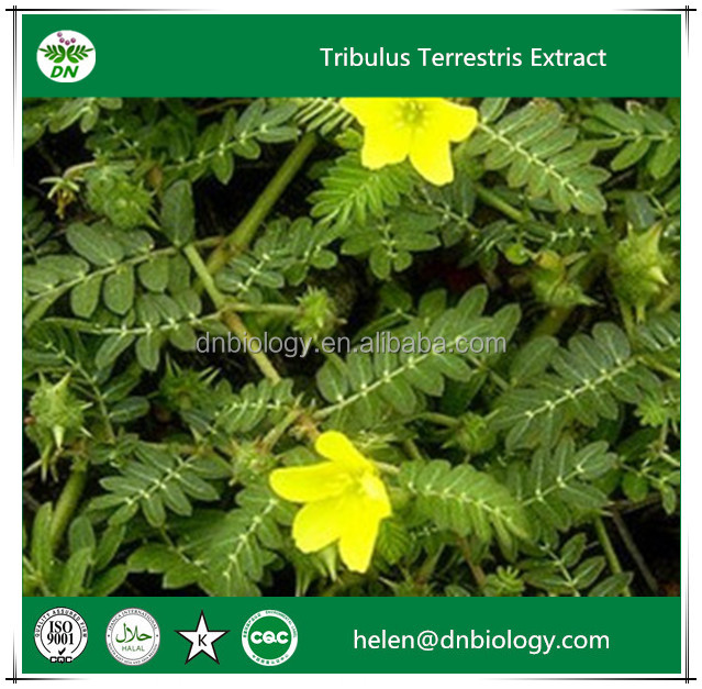 Best selling plant extract tribulus terrestris extract/20%-98% Protodioscin,Saponins