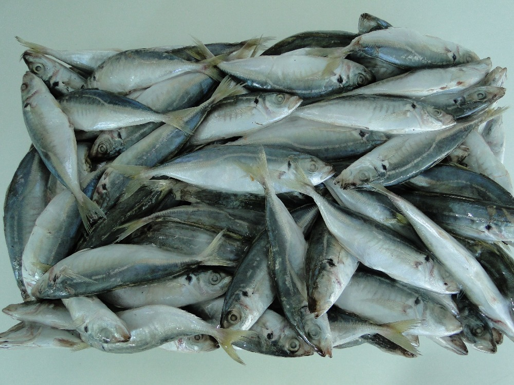 High Quality Horse Mackerel /Pacific/Atlantic Mackerel fish for sale