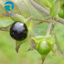 China Factory Supply Best Top quality Belladonna Extract/ Belladonna Liquid Extract/ Atropa Belladonna Extract