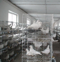 layer egg chicken cage/poultry farm house design/galvanized collapsible pigeon cage trapping single door