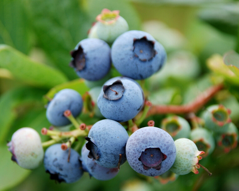 Suppress cancer Antioxidant Blueberry Extract 84082-34-8 <strong>10</strong>%-25% Anthocyanidin