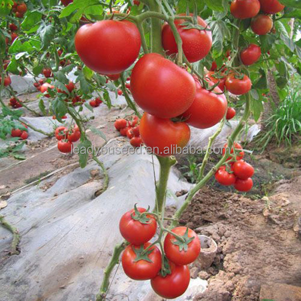 T45 Hedan TYLCV disease resistant f1 hybrid tomato seeds in vegetable seeds, greenhouse seeds for planting, high quality tomato