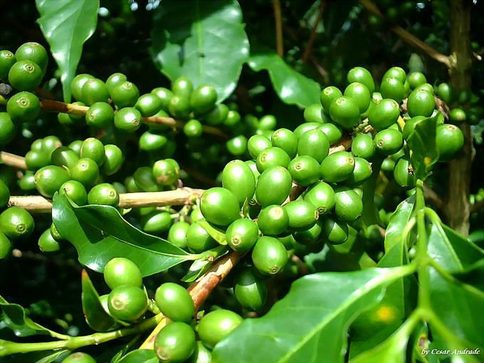 Coffee Bean Extract 70% Total Chlorogenic acid