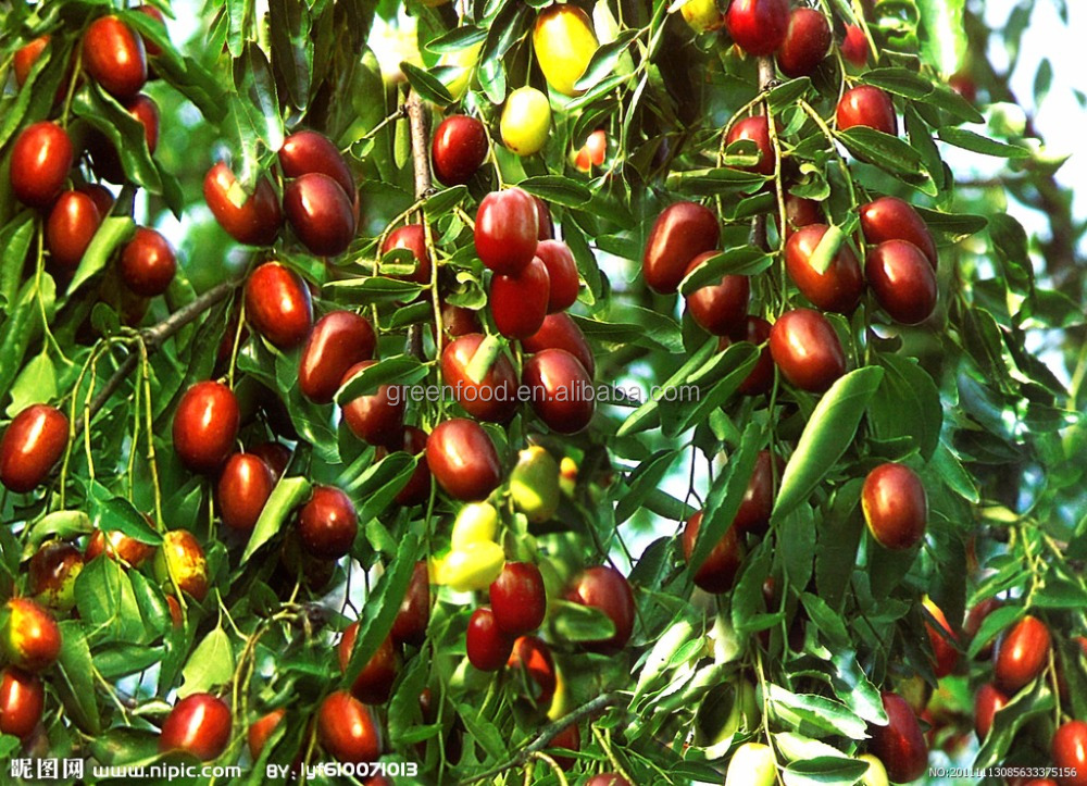 High Quality Fresh Jujube Fruit and Jujube Fruit and Oganic Date Fruit for Sale