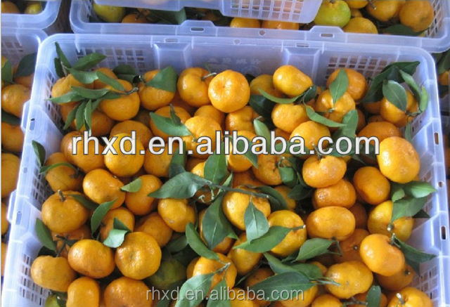 Chinese fresh navel orange fruit/quince fruits for sale