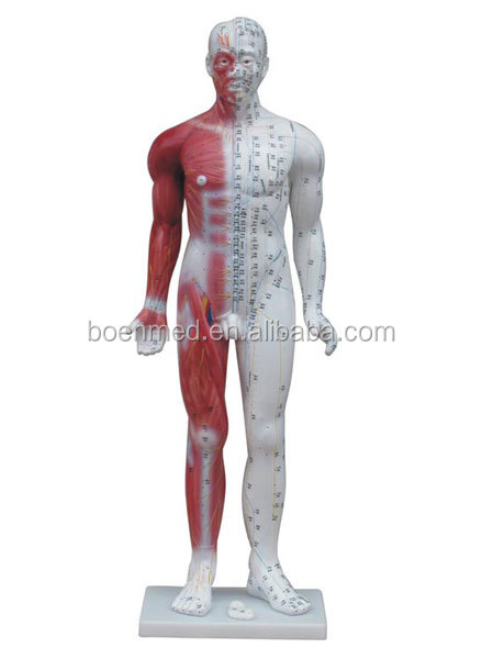 Male Human Acupuncture Model with Muscle Anatomy