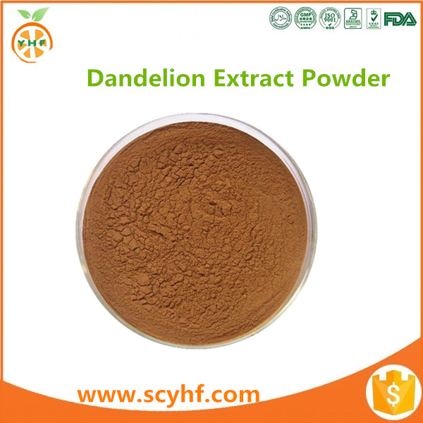 Promotion seasonal dandelion herb for wholesales
