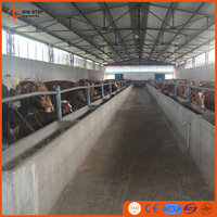live cattle shed for cattle slaughter