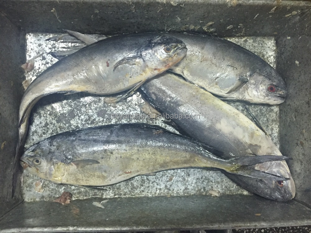Fresh frozen dorado fish fillet