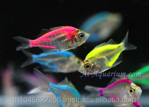 Glass Fish Mix Color For Sale / Ornamental Fish International Exporter