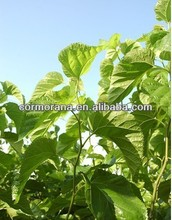 white mulberry leaf extract powder 1-deoxynojirimycin
