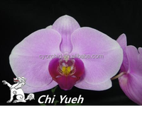 CYL30 Grow in Taiwan Purple with mauve lip large Indoor Butterfly orchid
