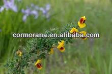 Scotch broom, Cytisus scoparius Linn, Scotch broom Extract, Sparteine