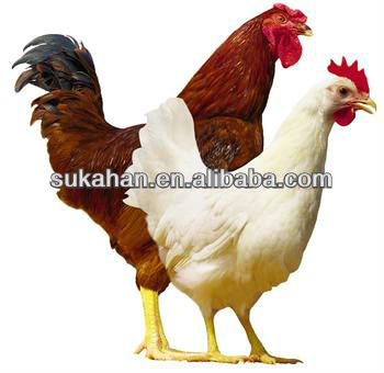 Special Probiotics for Chicken to Avoid Diarrhea