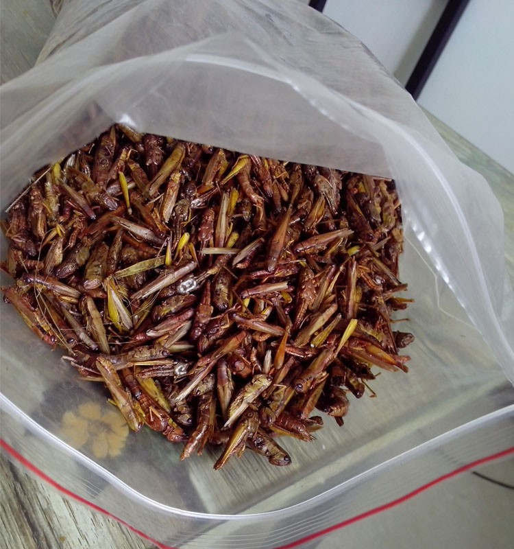 Excellent Quality Koi Fish Food Dried Grasshopper / Locusts