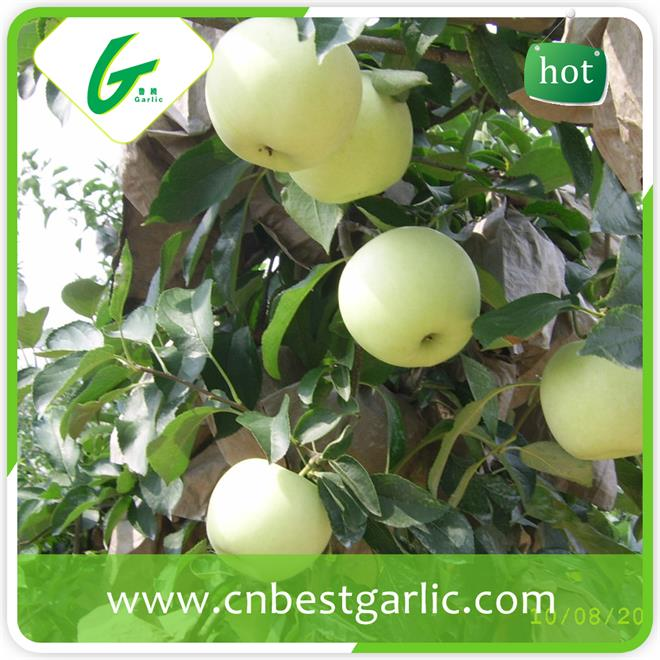 Import golden delicious apple fruit from china