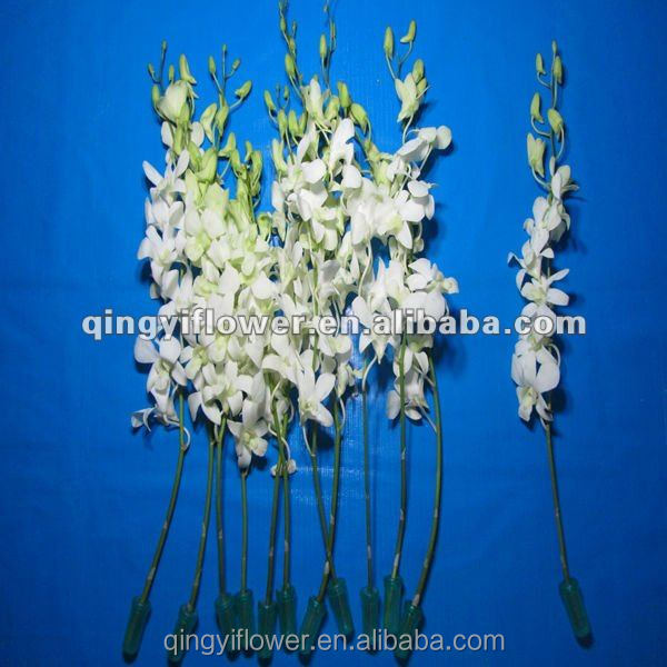 online wholesale fresh cut flower orchids from holland
