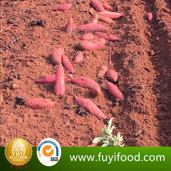 Sweet Potato Wholesale Purple Sweet Potato For Export
