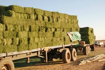Dried Alfalfa