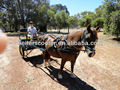 Australian Carriage driving two-wheel horse drawn