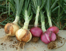 Round Shape Fresh Red Onions In Bulk