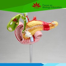 High quality Medical teaching human pancreas model