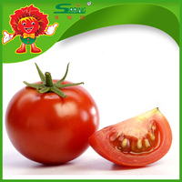 2015 good quality fresh Chinese tomato