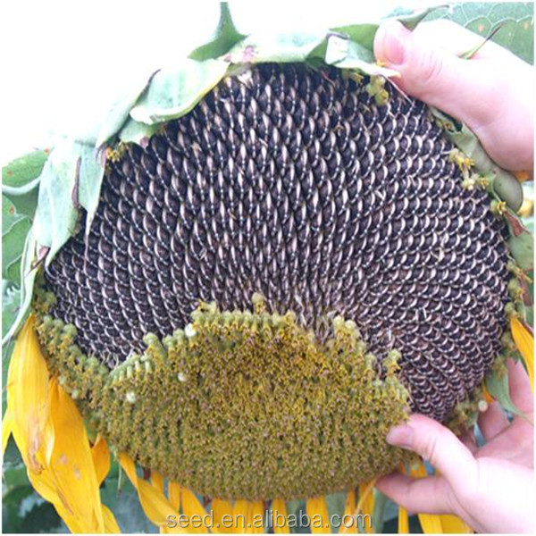 cheap chinese sunflower seeds for planting 3039