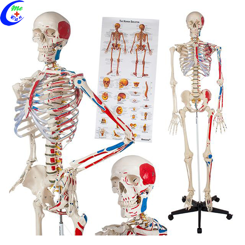 Medical Human Anatomical Skeleton <strong>Model</strong>