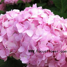 Beautiful indian fresh flower garlands freeze dried flower Hydrangea pink no intermediate
