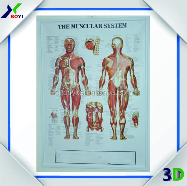 Medical 3D human body anatomy model Poster
