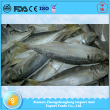 Frozen Seafood Products Horse Mackerel Fish 20cm+ for philippine Market.