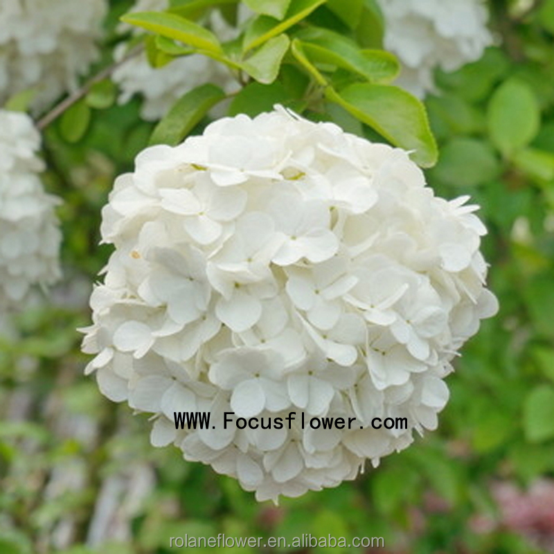 Best Selling Wholesale Fresh Cut Flowers 1 Stem/Bundle Natural Yellow Hydrangea Hydrangea White From Focus/China