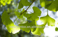 Chinese Natural Ginkgo extract for health remedy