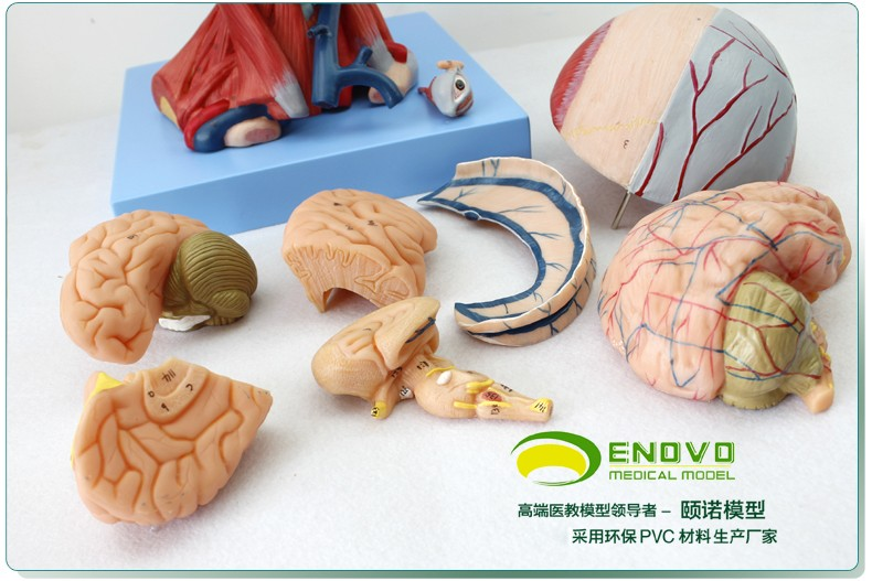 Head Muscles and Brain Blood Vessel Anatomy Model