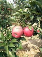 fresh red star apple from China