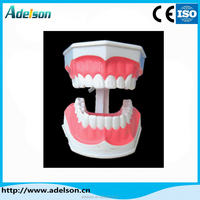 High Quality Ce Certificate plastic dental study model of orthodontic teeth