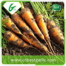 Fruits and vegetables import fresh carrot exporter