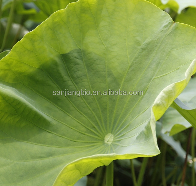 Natural Lotus Leaf Plant Extract, Lotus Leaf p.e powder, Lotus Leaf powder