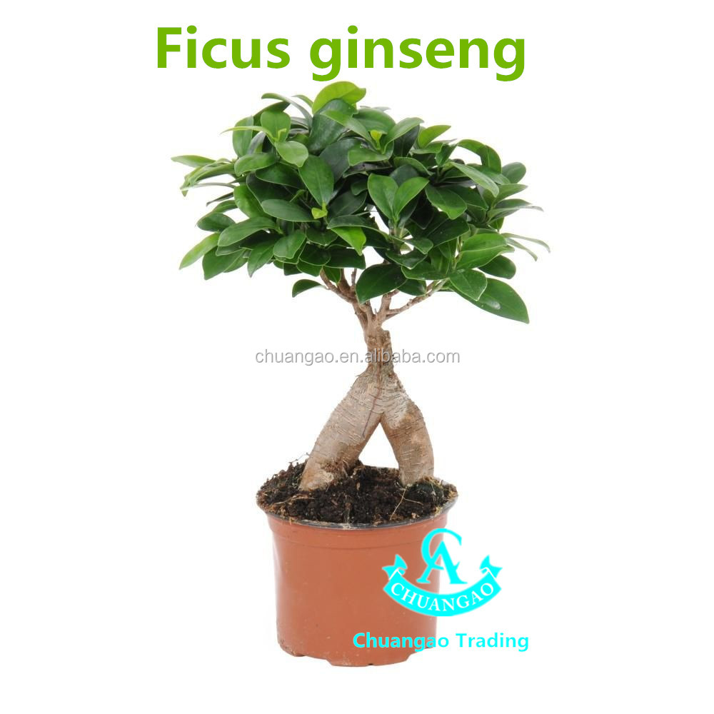 chinese ginseng ficus bonsai plants 100g indoor plants supply buy woody indoor plants indoor. Black Bedroom Furniture Sets. Home Design Ideas