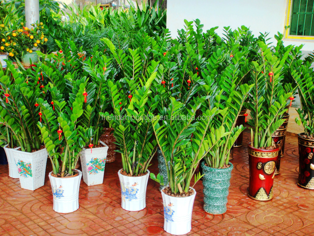 Natural zamioculcas zamiifolia for indoor ornamental for Indoor decorative plants