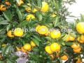 mandarin orange pulp for juice