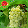 high quality Seedless Green Grapes cheap wholesale price