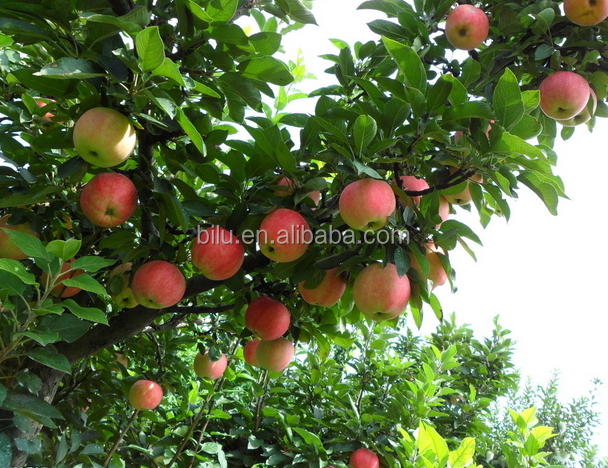 Chinese new delicious summer red fuji chief apple