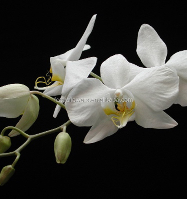 Natural fresh preserved hot sale orchid